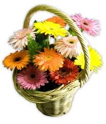 12 gerberas in a basket