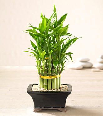 Traditional Good Luck Plant - Bamboo sticks